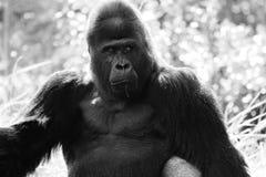 Ritratto della gorilla dell'alfa maschio Fotografia Stock