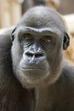 Ritratto della gorilla di aggrottare le sopracciglia Immagine Stock