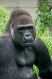 Ritratto della gorilla e muscolo del corpo Fotografia Stock Libera da Diritti