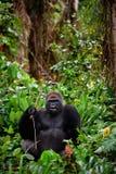 Ritratto della gorilla occidentale maschio della pianura. Fotografie Stock Libere da Diritti