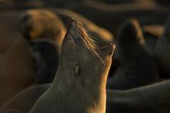 Ritratto della guarnizione ad una certa bella luce nafta Chiuda su di sbadiglio fotografia stock