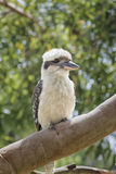 Ritratto della kookaburra Fotografia Stock