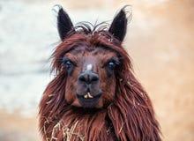 Ritratto della lama felice marrone Fotografie Stock