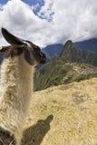 Ritratto della lama in machu-picchu, Perù Fotografie Stock Libere da Diritti