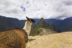 Ritratto della lama in machu-picchu, Perù Fotografie Stock