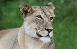 Ritratto della leonessa Fotografie Stock