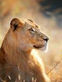 Ritratto della leonessa immagini stock libere da diritti