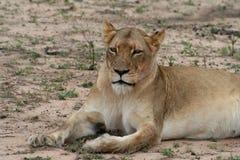 Ritratto della leonessa nella savanna Immagini Stock Libere da Diritti