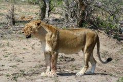 Ritratto della leonessa nella savanna Immagine Stock