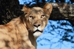 Ritratto della leonessa sopra un albero fotografia stock libera da diritti
