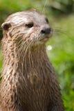 Ritratto della lontra Fotografia Stock Libera da Diritti