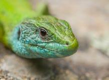 Ritratto della lucertola verde orientale fotografia stock libera da diritti