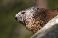 Ritratto della marmotta Fotografia Stock
