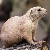 Ritratto della marmotta con coda nera Fotografia Stock