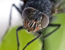 Ritratto della mosca fotografia stock