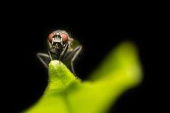 Ritratto della mosca Immagini Stock
