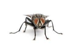 Ritratto della mosca di carne contro priorità bassa bianca Fotografia Stock