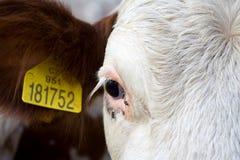 Ritratto della mucca bianca Fotografia Stock