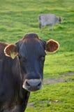 Ritratto della mucca del Jersey Immagini Stock Libere da Diritti