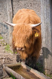 Ritratto della mucca dell'altopiano Fotografie Stock Libere da Diritti