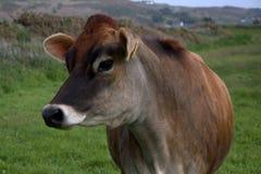 Ritratto della mucca della Jersey Immagini Stock