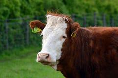 Ritratto della mucca nei marchi auricolari del campo nascosti Fotografie Stock Libere da Diritti