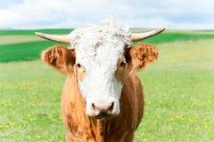 Ritratto della mucca riccia rossa che esamina la macchina fotografica Fotografia Stock