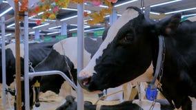 Ritratto della mucca triste all'azienda lattiera stock footage