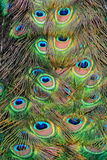 Ritratto della piuma del pavone. fotografia stock libera da diritti