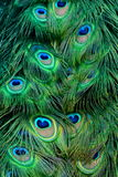 Ritratto della piuma del pavone. immagini stock