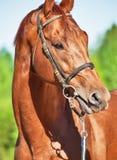 Ritratto della primavera dello stallone di Trakehner della castagna Fotografie Stock