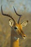 Ritratto della ram del Impala Fotografia Stock Libera da Diritti