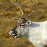 Ritratto della renna Immagini Stock Libere da Diritti