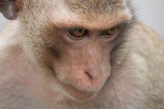 Ritratto della scimmia Immagini Stock