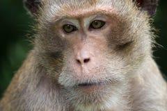 Ritratto della scimmia Immagine Stock