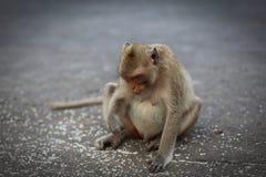 Ritratto della scimmia Fotografia Stock Libera da Diritti