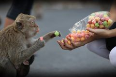 Ritratto della scimmia Immagine Stock Libera da Diritti