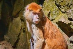 Ritratto della scimmia di patas Fotografie Stock
