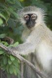 Ritratto della scimmia di Vervet Fotografia Stock