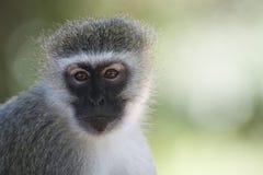 Ritratto della scimmia di Vervet Fotografie Stock