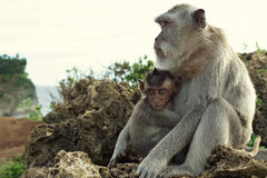 Ritratto della scimmia nel Uluwatu immagine stock libera da diritti