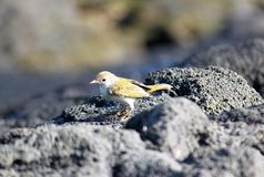 Ritratto della silvia gialla (Galapagos, Ecuador) Fotografie Stock Libere da Diritti