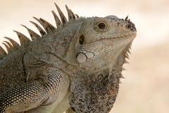 Ritratto della spalla e capo di un'iguana selvaggia (iguana dell'iguana). Fotografie Stock