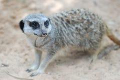 Ritratto della superficie laterale di un meerkat Fotografia Stock Libera da Diritti