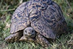 Ritratto della tartaruga Fotografia Stock Libera da Diritti