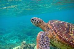 Ritratto della tartaruga di mare Foto subacquea esotica della tartaruga marina Animale oceanico in natura selvaggia Attività di v fotografie stock libere da diritti