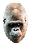 Ritratto della testa del fronte della gorilla isolato su bianco Fotografie Stock Libere da Diritti