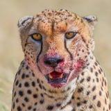 Ritratto della testa del ghepardo, sanguinoso dal rimpinzarsi di immagini stock