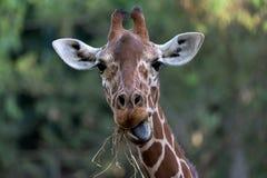 Ritratto della testa del primo piano della giraffa Fotografia Stock