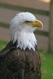 Ritratto della testa dell'aquila calva fotografia stock libera da diritti